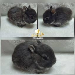 Filhote Netherland- Mini coelho