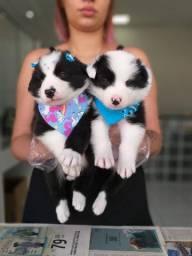 Border Collie blue/red merle/preto e branco/chocolate, temos 11 clinicas veterinárias