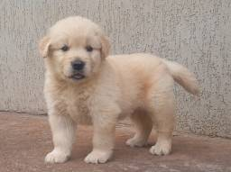 Vendo lindos filhotes de Golden retriever