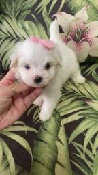 Linda baby fêmea de Maltês. Vacinada e com pedigree