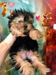 Yorkshire terrier fêmeas e machos micro e Babyface a pronta entrega imediata !!!
