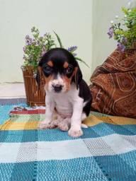Beagles carinhosos