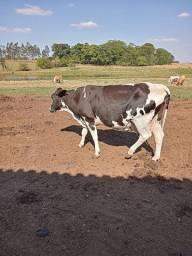 Vende-se vaca leiteira