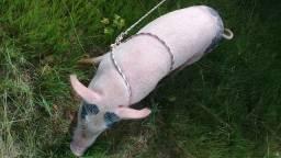 Porco de raça