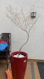Vendo bambu Mossor seco pra ornamentação