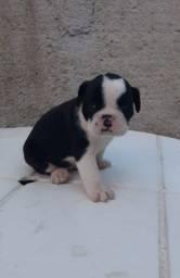 Filhote Bulldog Campeiro Fêmea