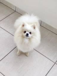 Spitz Alemao ( Lulu da Pomerania ) branco