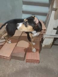 Tricolor American Pitbull Terrier com American Staffordshire Terrier