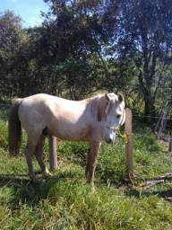 Vendo Cavalo Castrado MM Registro no provisorio