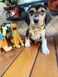 Bebê de beagle tricolor venha conferir