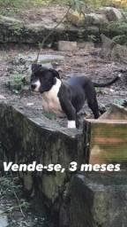 Título do anúncio: Vende-pitbull
