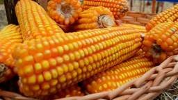 Venda de milho direto do Produtor Preço R$66,85.Dispensamos curiosos !!