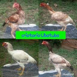 Vendo galinhas IG gigantes