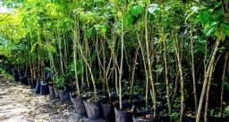 Mudas para reflorestamento