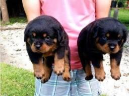 Lindos filhotes, cabeçudos, com pedigree e garantias em contrato