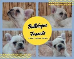 Bulldogue Francês Fêmea Disponível