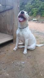 Bull Terrier fêmea com pedigree