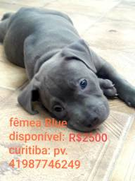 American bully , XL Pit Monster