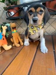 Beagle *Promoção*