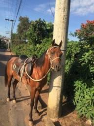 Cavalo árabe a venda