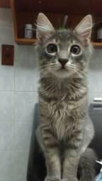 Franca +doação de um lindo gato Castrado 5 MESES