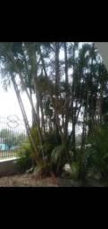 Vendo palmeiras reais