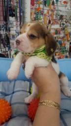 Beagle Femea Tricolor