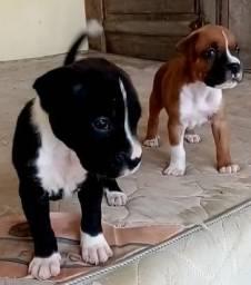 Boxer Black e Dourado