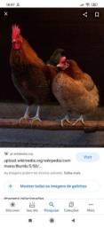 2 galinhas  caipira 1 galo índio