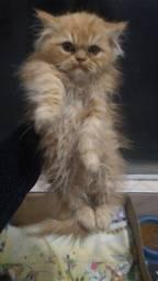 Gato persa laranjado