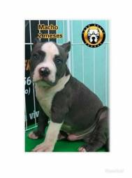 American bully pocket.