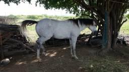 Cavalo de esquerda pra quem quer um animal já feito no esporte vaqueijada bom de verdade