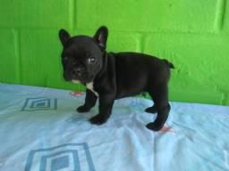 Filhotes Bulldog Francês Genis Blue