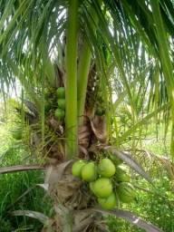 Arrendo Plantação de côco