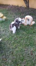Shih tzu lindos filhotes!!!!Apaixone-se!!!!