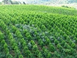 Terras para Arrendar SP/MG. Procuramos para plantar Acacia Mangium
