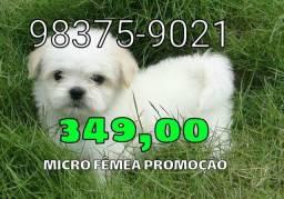 Poodle. , FÊMEA micro criação veterinária