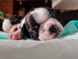 Título do anúncio: boston terrier disponivel macho e femea
