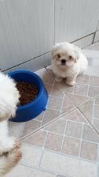 Filhotes de shihtzu com poodle