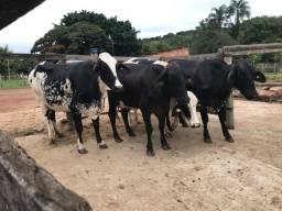 Vacas Leiteras Girolando Registradas para FIV