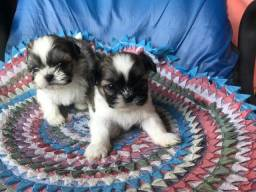 Filhotes de Shih Tzu Micro lindos