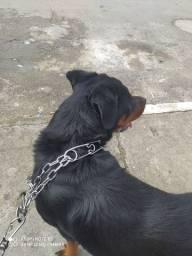 Procuro cachorro macho da raça rottweiler para cruzar com minha cachorra fêmea pura .