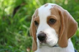 Beagle - 1 Casal . . .