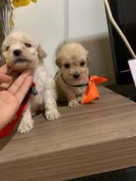 Título do anúncio: Vendo filhotes de poodle fêmea