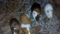 Porquinhos da índia (variedades)