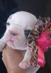 Filhotes dá raça Bulldog francês !!! pronta entrega !!! somente venda !!!