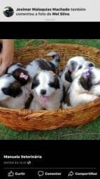 Filhotes de São Bernardo com pedigree