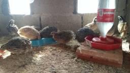 Pintinhos índio gigante baixada Santista frangos e codornas varias raças Peruíbe-SP