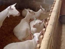 Cabras leiteiras Saanen