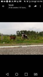 Vendo Vaca holandesa com terneiro